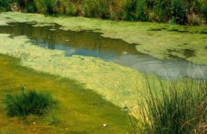 Algae thrive in nutrient rich enivonment, captured here in an irrigation drain. Photo: CSIRO