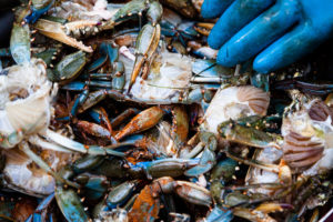 The Chesapeake Bay's $100 million blue crab fishery is starting to recover after years of decline due mainly to water pollution.  Chesapeake Bay Program, CC BY-NC