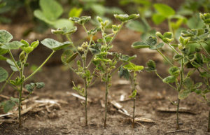 The Midwest might be ripe for a major drought in 2025, according to a climatologist speaking Wednesday at the annual Upper Mississippi River Conference in Moline. These are soybean plants stressed by dry conditions in southern Iowa this year.