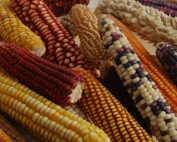 Ears of corn (maize), showing a wide range of colors and shapes that reflect different varieties. Credit: International Maize and Wheat Improvement Center, CC BY NC-SA 2.0