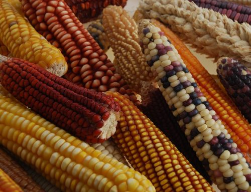 Corn's Ancestor Could Help It Go Green