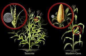 A side-by-side comparison of teosinte and modern corn. Credit: NSF